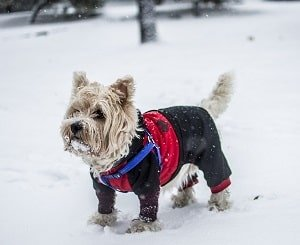 dog in winter clothing