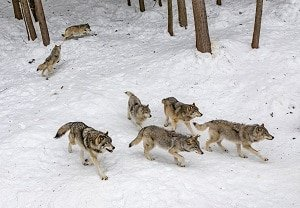 7 wolf pack